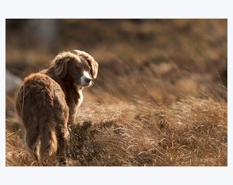 Irish Collie Dog, Irish Setter, Dog Photography, Ireland