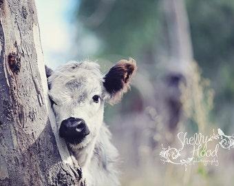 Mini Cow in Nature Photo - Mini Cow Photo - Farmhouse Decor - Rustic Decor - Calf Photography - Fine Art Wall Hanging - Livestock Photo
