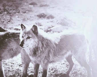 Wolf Photo, Black and White Photography, Nature Photography, Wolves Print, Animal Photography, Nature, Gray Wolves Photo, Gray Wolf