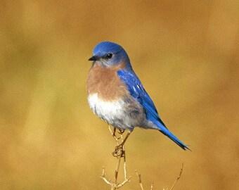 A Male Eastern Bluebird with a Golden Background Bird Fine Art Photo
