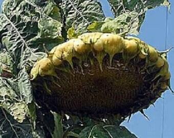 5 Amazon Sunflower Seeds-1027