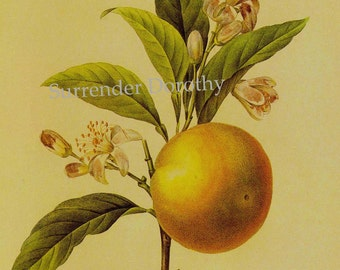 Grapefruit Citrus Redoute Vintage Fruit Botanical Lithograph Print To Frame 142