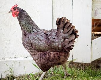 Animal Photography, Barnyard Print, Chicken Photo, Nature Print, Rural Wall Art, Farm Animal Print, Kitchen Art, Country Decor - Struttin'