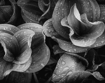 Raindrops plant art, Corn Lilly photo, Black and White photo, Colorado art, wildflower art, rain photo, fine art flower, botanical art