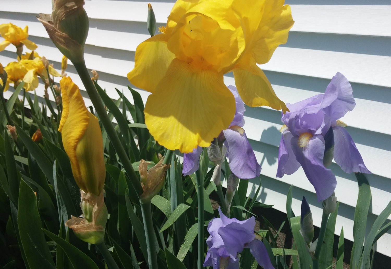 5 iris bulbs bearded iris mixed iris rhizomes live iris flowers 5 iris bulbs bearded iris mixed iris rhizomes live iris flowers yellow bearded iris purple bearded iris 5 plants rooted iris rhizomes izmirmasajfo Choice Image