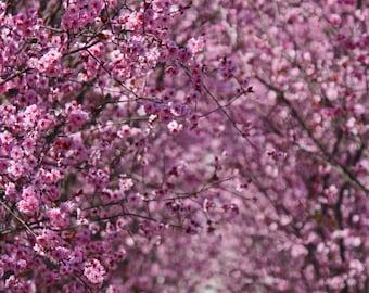 Luscious Washington DC Cherry Blossoms