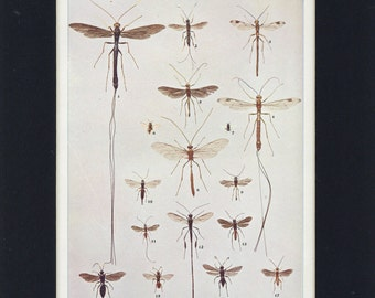 1903 Antique Ichneumon Flies and Chalcis Flies Entomology Insect Print
