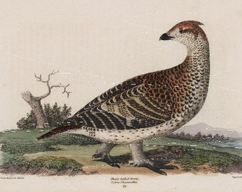 Antique Original  Natural History Bird Print- Sharp Talied Grouse Hand Colored