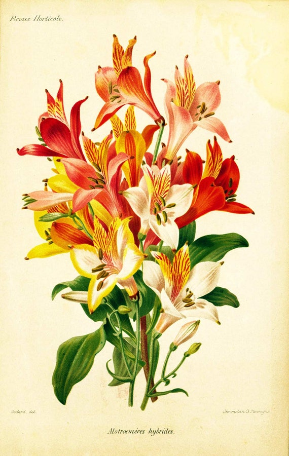 1881 Original Antique Peruvian lily Print Botanical