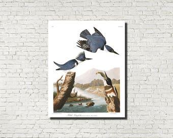 Belted Kingfisher Print Birds Poster Wildlife Art Vintage Birds Illustration Ornithology Fine Art Print  JJ Audubon  Ornithologist Gift 0422