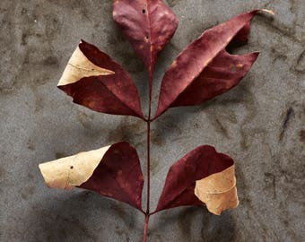 Fall leaves, Fall Foliage, Leaves, Wall art, Home decor, Photography, Photography print, Still life photography, Print