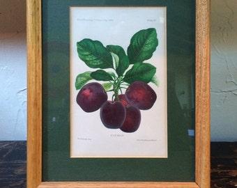 Framed Botanical Print - Clyman Plums by A. Hoen circa 1888