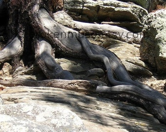 Roots Run Deep - Fine Art Photography ACEO