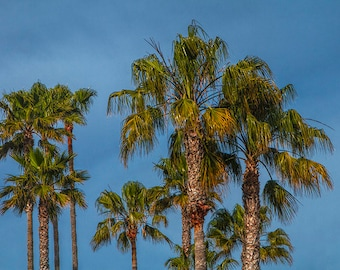 Palm Trees on Laguna Beach in California No.8453 A Fine Art Seascape Photograph