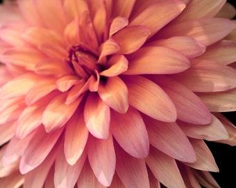 Garden Photography Pink and Peach Dahlia Fine Photography Wall Art