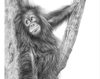 Orangutan greetings cards. Orangutan pencil drawing art print.