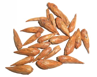 BALM of GILEAD BUDS, Organic, Dried - Populus Candicans - Poplar Cottonwood - Traditionally Used since Ancient Times, Folklore and Scripture