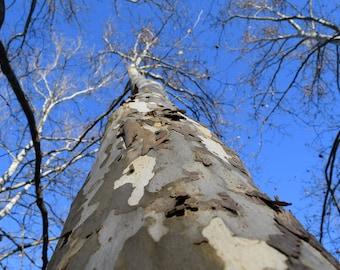 The Peeling Tree