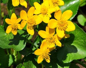 Marsh Marigold (125 thru 1/8 oz seeds) Stunning Caltha Kingcup! wetland pond FR2