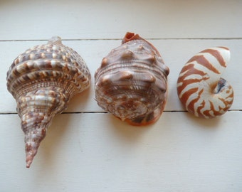 Vintage sea Shells large shells Tritons Trumpet, conch and nautilus shells from Martinique