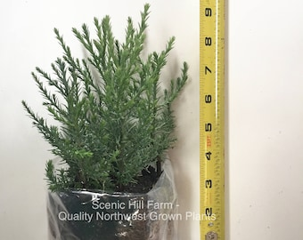 "10 Giant Sequoia Trees - California Redwood - Potted - 3"" - 5"" Tall Seedlings - Includes Free Shipping!"