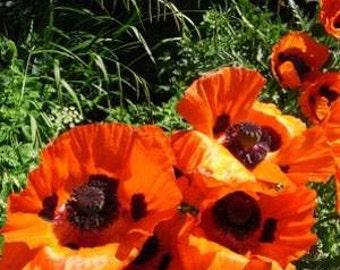 Orange Scarlet Orientale Poppy Flower Seeds/Papaver/Annual  50+