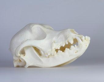 Real Domestic Dog Skull ( Pathology )