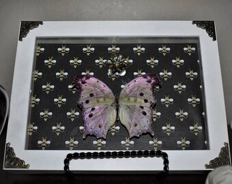 Forest Mother-of-Pearl Butterfly in Shadow Box
