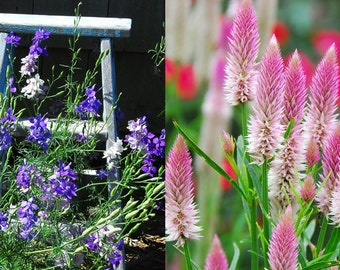 Flower Seeds, Larkspur and Celosia, Heirloom Flowers Two Varieties, Mixed Larkspur and Pink Celosia, Great For Cut Flower Gardens