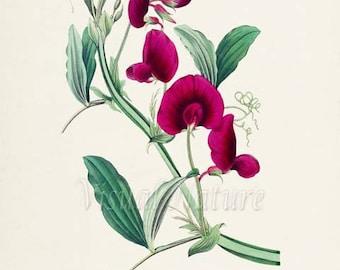 Tangier Pea Flower Art Print, Botanical Art Print, Flower Wall Art, Flower Print, Floral Print, Tangier Pea Art Print