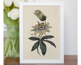 "Vintage illustration of Soft - Grass - Passion Flower - framed fine art print, flower art, 8""x10"" ; 11""x14"", FREE SHIPPING - 125"