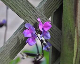 Sweet Pea Photography , Sweet pea Flower, Flower Print, Flower Decor, Flower wallart,