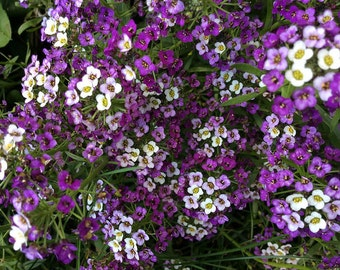Alyssum 'Royal Carpet' Seeds