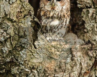 """Mounted Photographic Display Print - Tawny Owl #1 (A4 print in 14"""" x 11"""" Mount, Unframed)"""