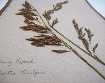 Dried plant specimen mounted on card. Thatching Reed.