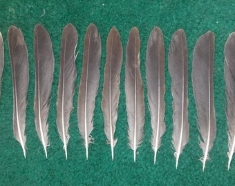 Fieldfare (Turdus pilaris) tail feathers. Naturally molted feathers, cruelty free.