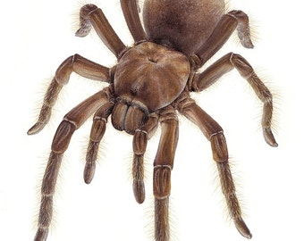 Theraphosa stirmi - Burgundy Goliath Birdeater - A4 size limited edition art print