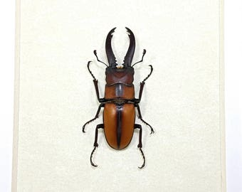 Real Framed Prosopocoilus Mohnikei Stag Beetle Taxidermy A1 #92