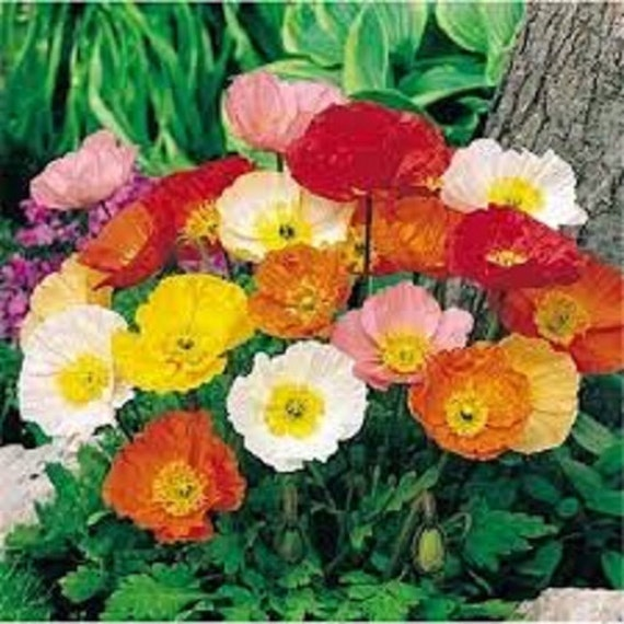Poppy pavot iceland mixed perennial flower seeds delicate bright poppy pavot iceland mixed perennial flower seeds delicate bright satin like flowers easy to grow for beds borders or cut flowers from greenlanegardens on mightylinksfo