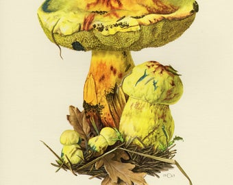 Vintage lithograph of boletus junquilleus from 1963