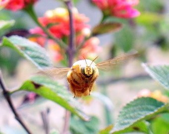 Bee on steroids
