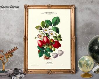 Fruit Art, Old Botanicals Print, Strawberry Fruit, Strawberry Print, Strawberry Art Print, Old Strawberry Print - E15fr2