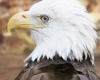 Bald Eagle Photography - Bird photograph, eagle, wildlife photography, nature photography, 8x10 fine art photography
