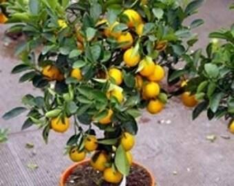 Calamondin 5 seeds green Citrus madurensis