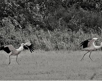 "Photo, photography, photo, photography, fine art, print, art, art, ""storks"""