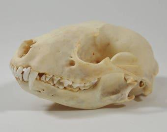 Raton laveur véritable tête de mort (15-209)