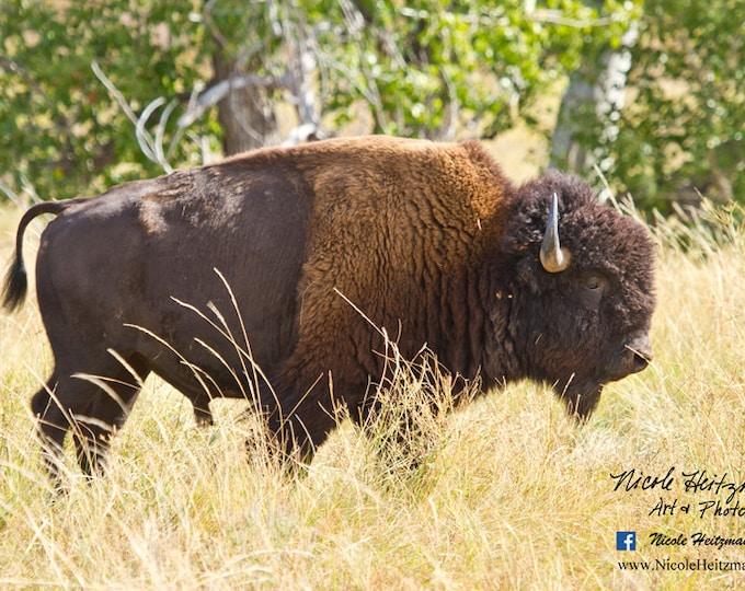 Buffalo Photo Bison Buffalo Photography Animals Photo Metal Print Gift for Men South Dakota Custer State Park Black Hills Photography