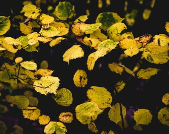 Nature photography, Yellow leaves, fine art photography, Trees, autumn, yellow