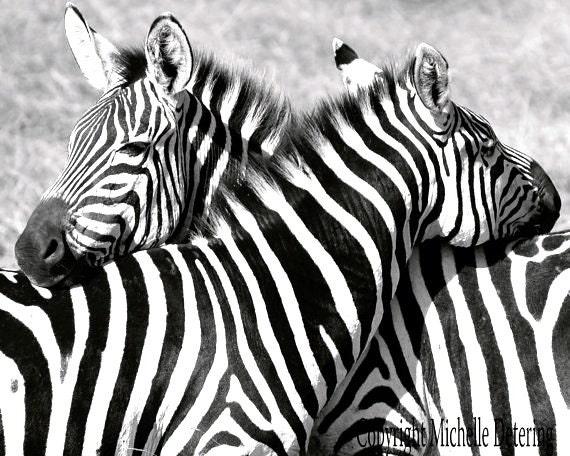 Zebra hug zebra photography black and white photography