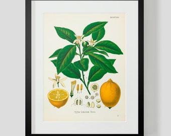 Botanical Illustration Print Plate 3 Lemon Fruit